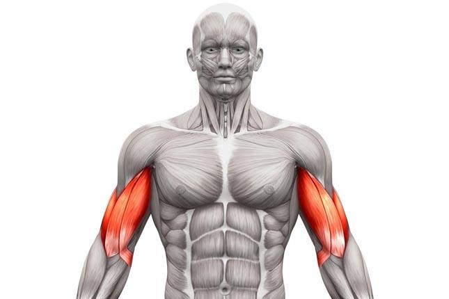 Musculation pour les bras hommes